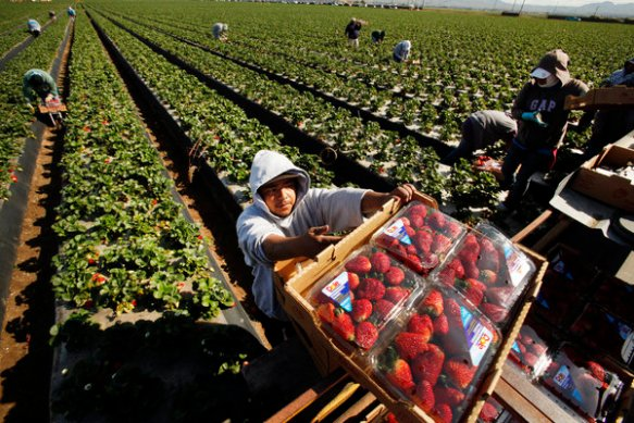 Domingo Suarez, center, carries a box of strawberries picked for Dole Foods.