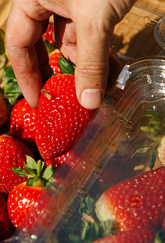 Los Angeles Times writer Hector Becerra packs strawberries into a clamshell box right after picking them.