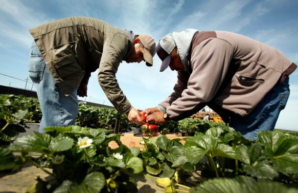 Los Angeles Times reporter Hector Becerra, left, is instructed by foreman Antonio Lopez, right, on how to pack a box of strawberries.
