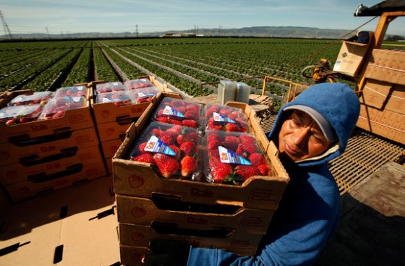 Working on a moving platform, Phillip Sanchez carries and sorts boxes of strawberries freshly picked for Dole Foods.