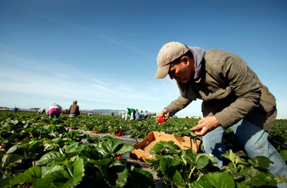 Los Angeles Times writer Hector Becerra picks boxes of strawberries alongside workers in a Santa Maria, Calif., strawberry field